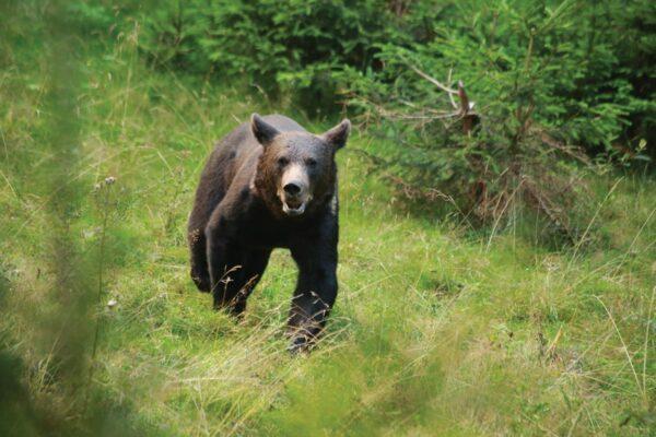 Medvebocs