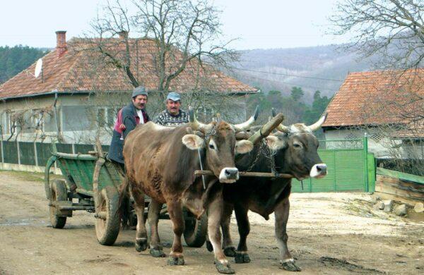 Jó módú tehénfogat, mint száz éve