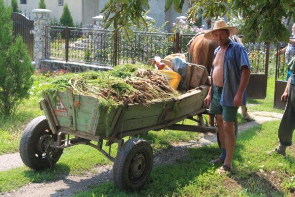 Murokország aranya, a friss zöldség - szállításra készen